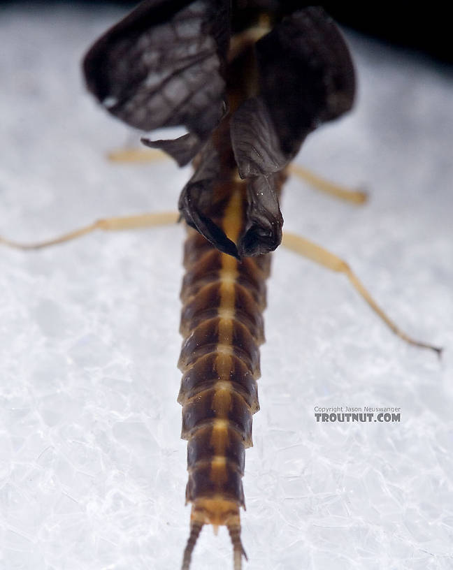 Female Isonychia bicolor (Mahogany Dun) Mayfly Dun from Penn's Creek in Pennsylvania