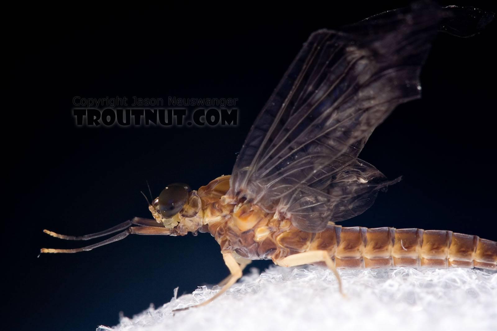 Female Isonychia bicolor (Mahogany Dun) Mayfly Dun from Penn's Creek in Pennsylvania