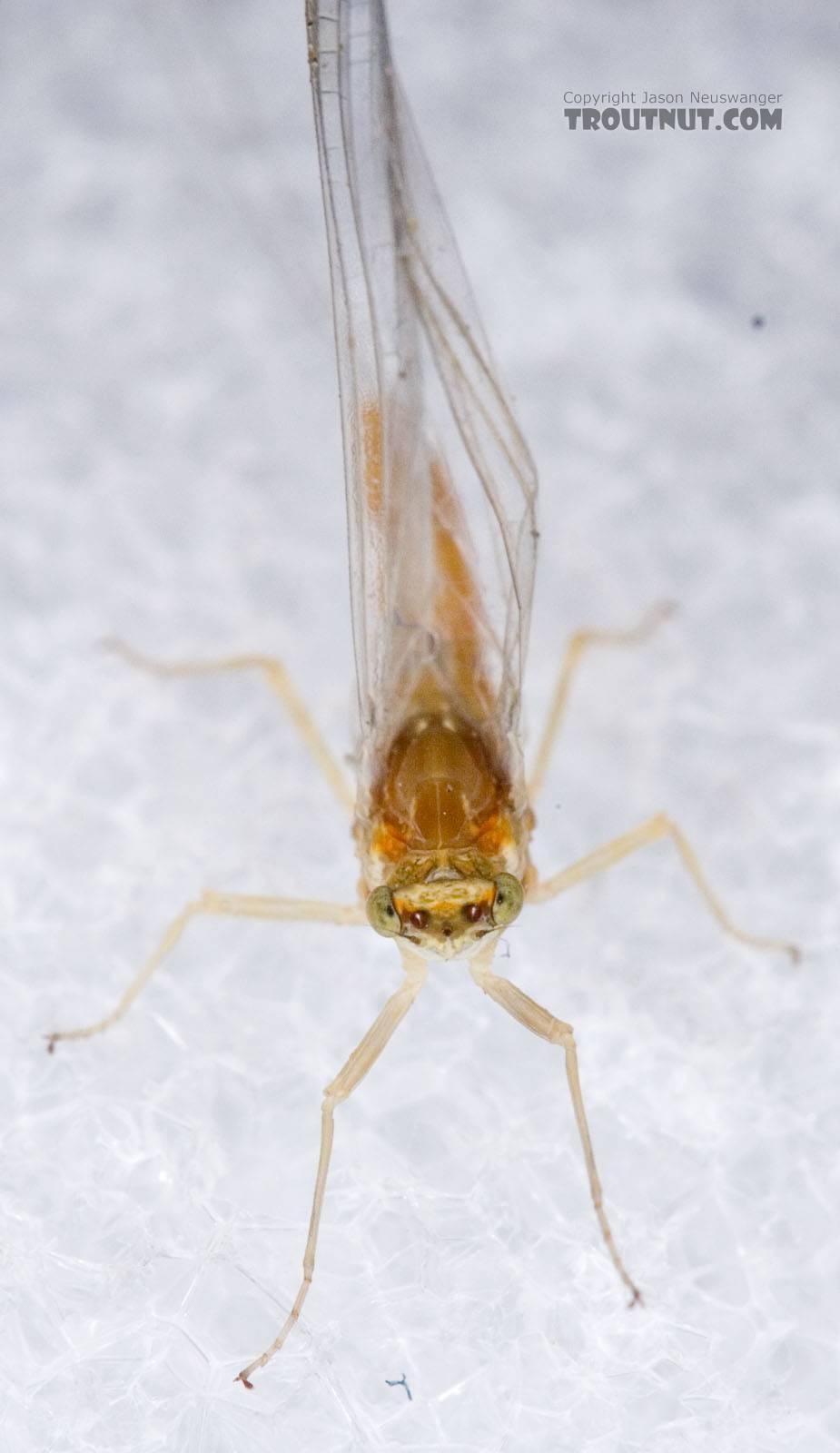 Female Ephemerella invaria (Sulphur Dun) Mayfly Spinner from Penn's Creek in Pennsylvania