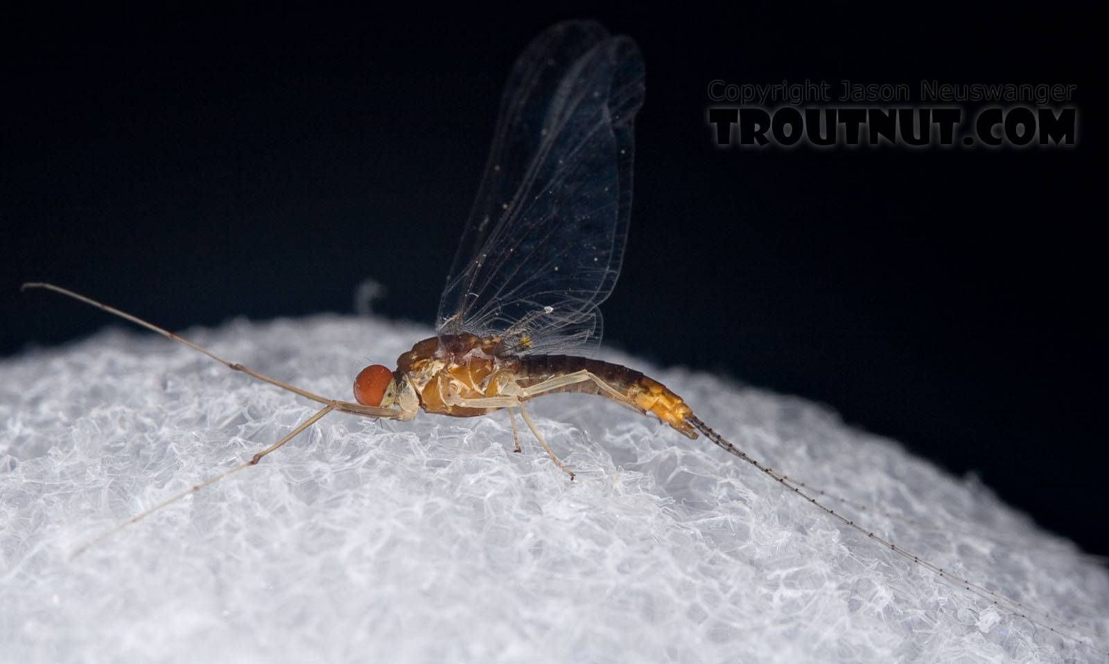 Male Ephemerella (Hendricksons, Sulphurs, PMDs) Mayfly Spinner from Penn's Creek in Pennsylvania