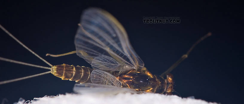 Female Drunella cornuta (Large Blue-Winged Olive) Mayfly Spinner from Brodhead Creek in Pennsylvania