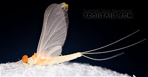 Male Ephemerella dorothea dorothea (Pale Evening Dun) Mayfly Dun