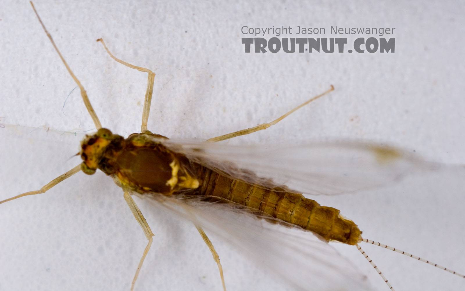 Female Ephemerella (Hendricksons, Sulphurs, PMDs) Mayfly Spinner from Mystery Creek #42 in Pennsylvania