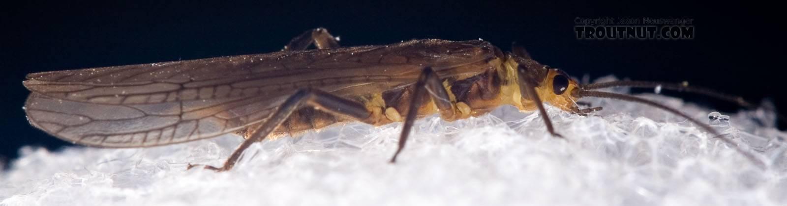 Peltoperlidae (Roachflies) Stonefly Adult from Mystery Creek #42 in Pennsylvania