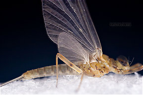 Male Epeorus (Little Maryatts) Mayfly Dun