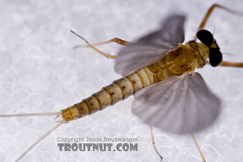 Male Epeorus (Little Maryatts) Mayfly Dun from Mystery Creek #42 in Pennsylvania