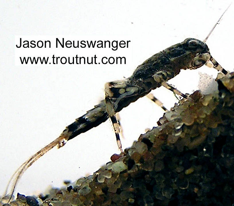 Ephemerella aurivillii Mayfly Nymph from unknown in Wisconsin