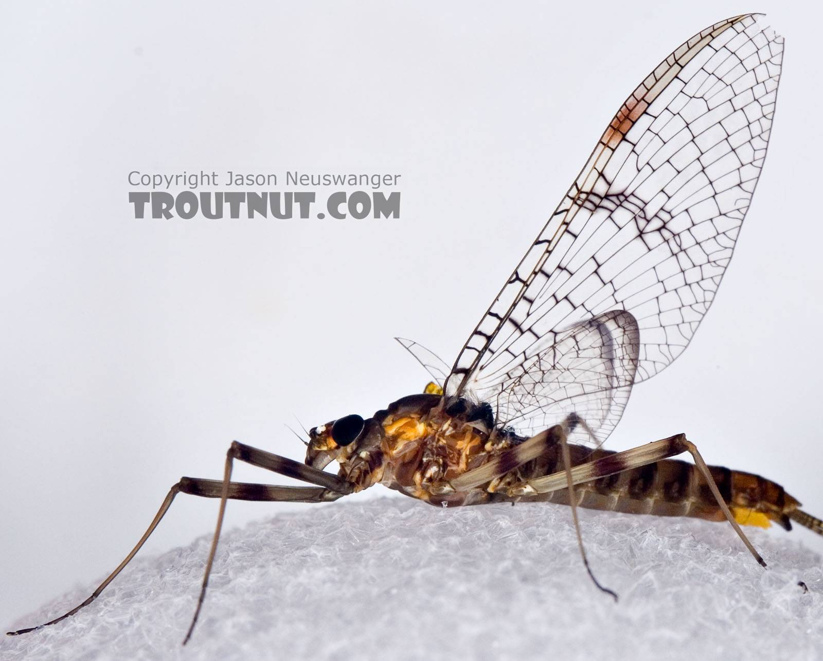 I had to photograh her against a white backgrond to show the dark venation in her clear wings.  Female Maccaffertium pudicum Mayfly Spinner from Mystery Creek #42 in Pennsylvania