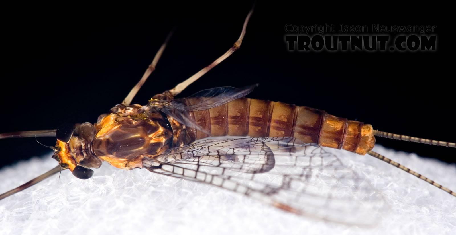 Female Maccaffertium pudicum Mayfly Spinner from Mystery Creek #42 in Pennsylvania