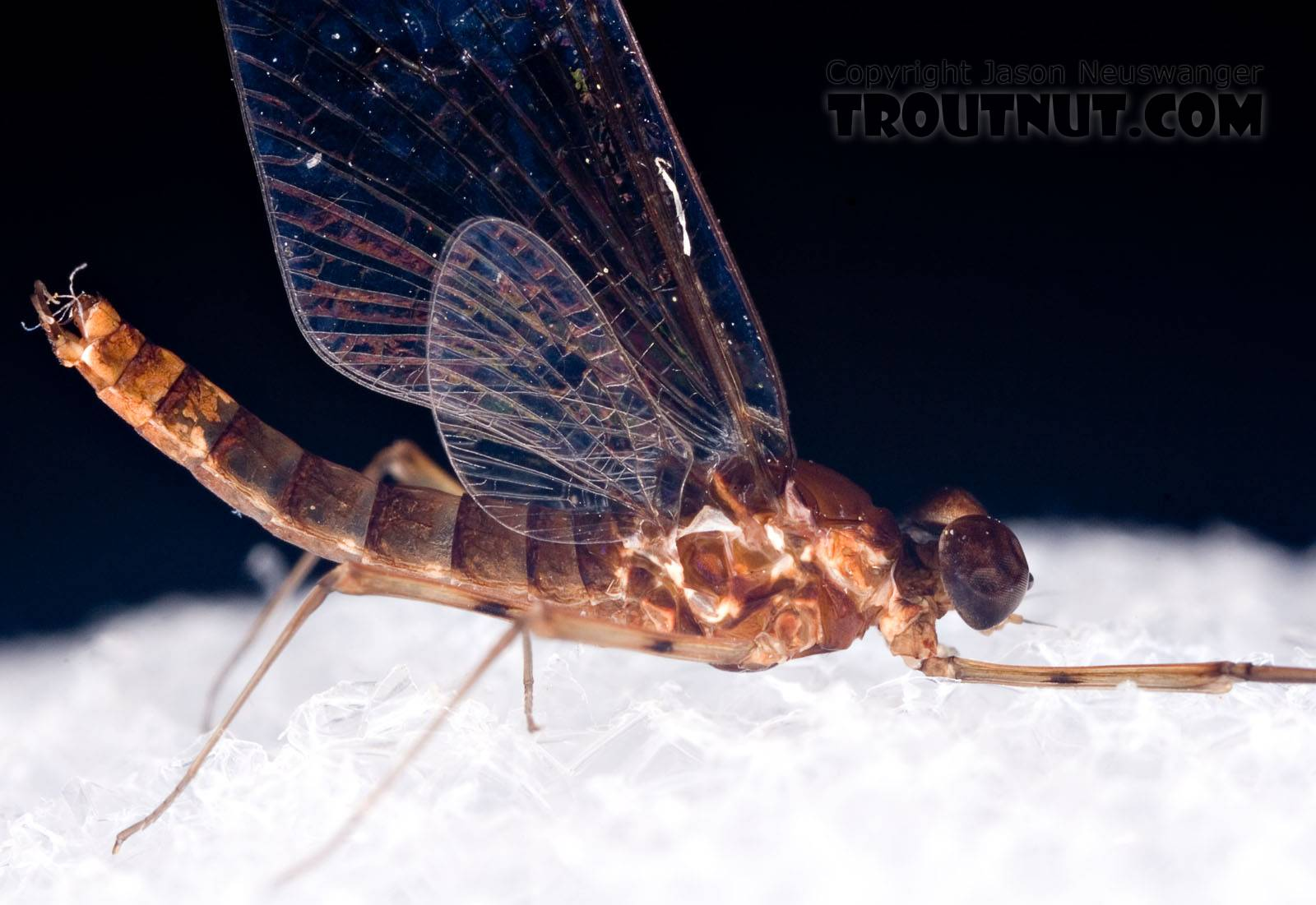 Male Epeorus (Little Maryatts) Mayfly Spinner from Mystery Creek #42 in Pennsylvania