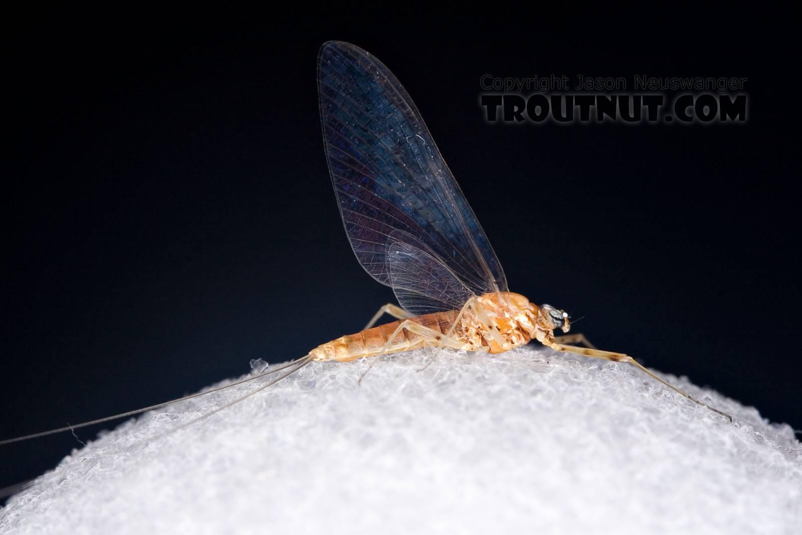 Female Epeorus vitreus (Sulphur) Mayfly Spinner from Mystery Creek #42 in Pennsylvania