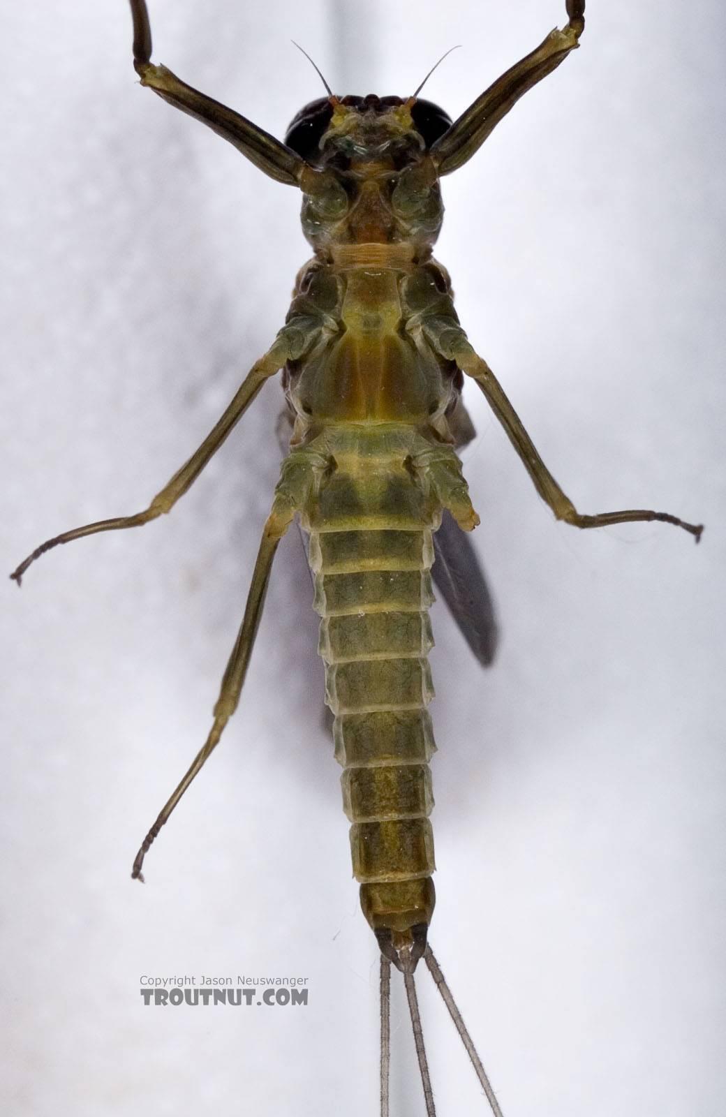 Male Drunella cornuta (Large Blue-Winged Olive) Mayfly Dun from Brodhead Creek in Pennsylvania