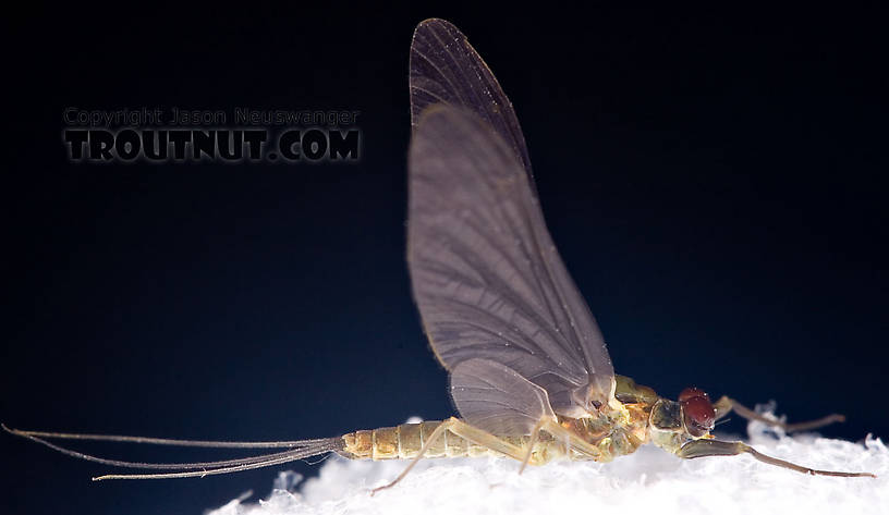 Male Drunella cornuta (Large Blue-Winged Olive) Mayfly Dun from Brodhead Creek in Pennsylvania