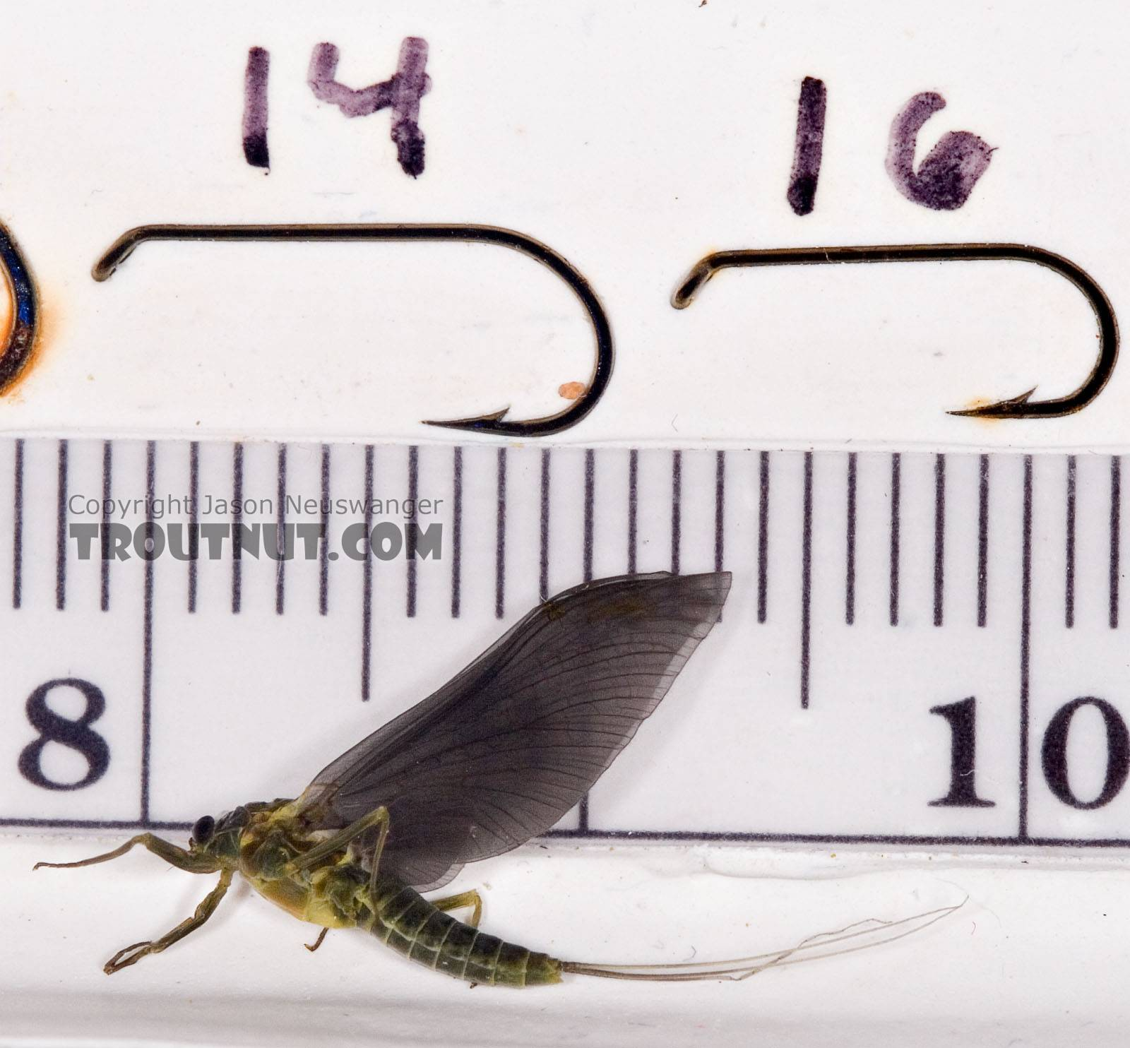 Female Drunella cornuta (Large Blue-Winged Olive) Mayfly Dun from Brodhead Creek in Pennsylvania