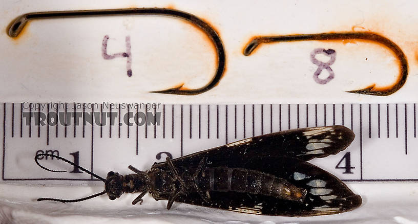 Male Nigronia serricornis (Fishfly) Hellgrammite Adult from Brodhead Creek in Pennsylvania