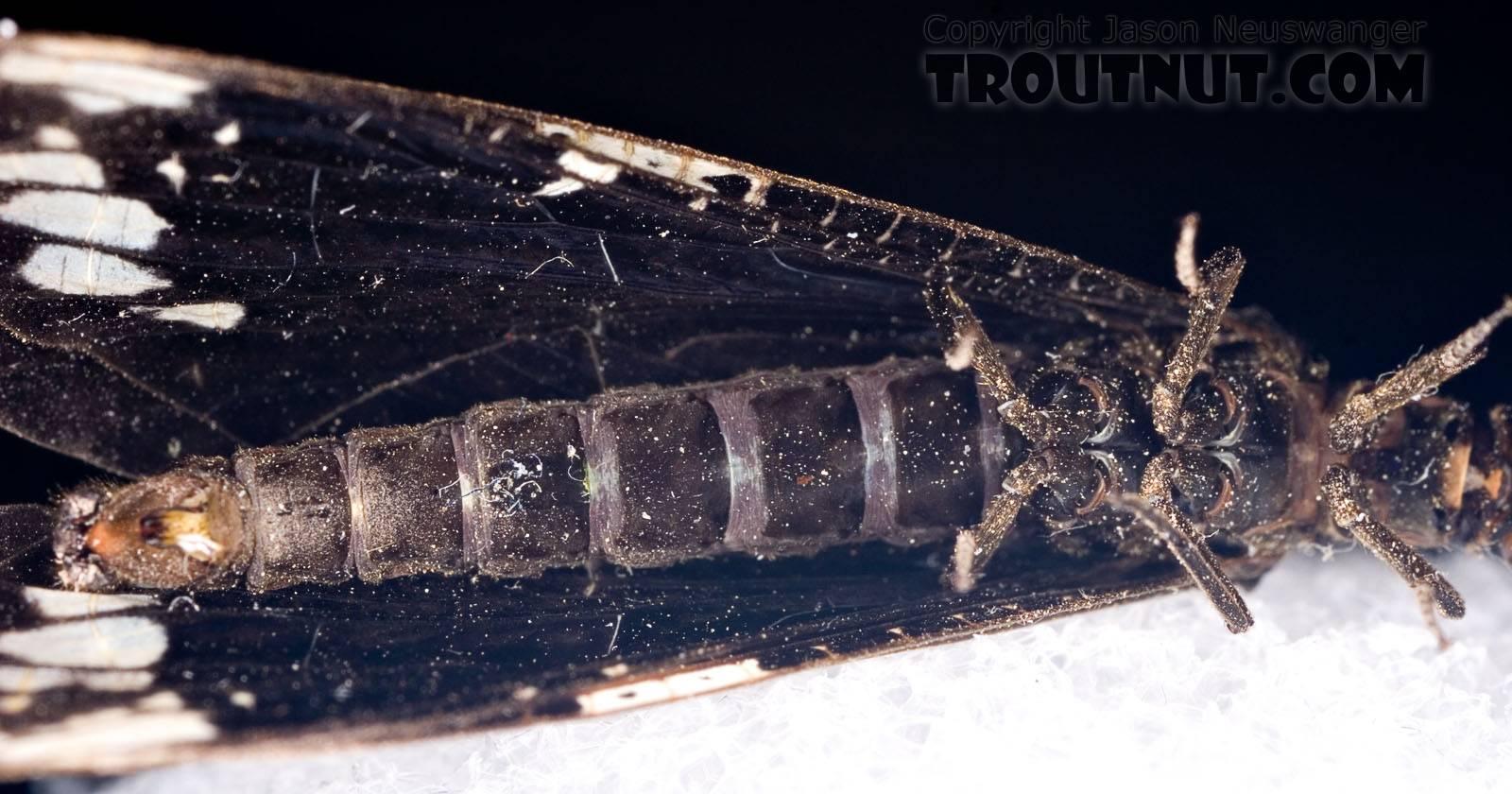Male Nigronia serricornis (Fishfly) Hellgrammite Adult from Brodhead Creek in Pennsylvania