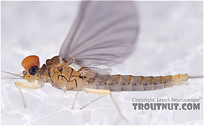 Male Baetidae (Blue-Winged Olives) Mayfly Dun