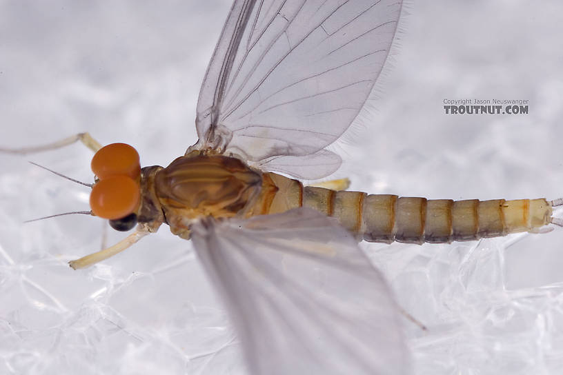 Male Baetidae (Blue-Winged Olives) Mayfly Dun from Brodhead Creek in Pennsylvania