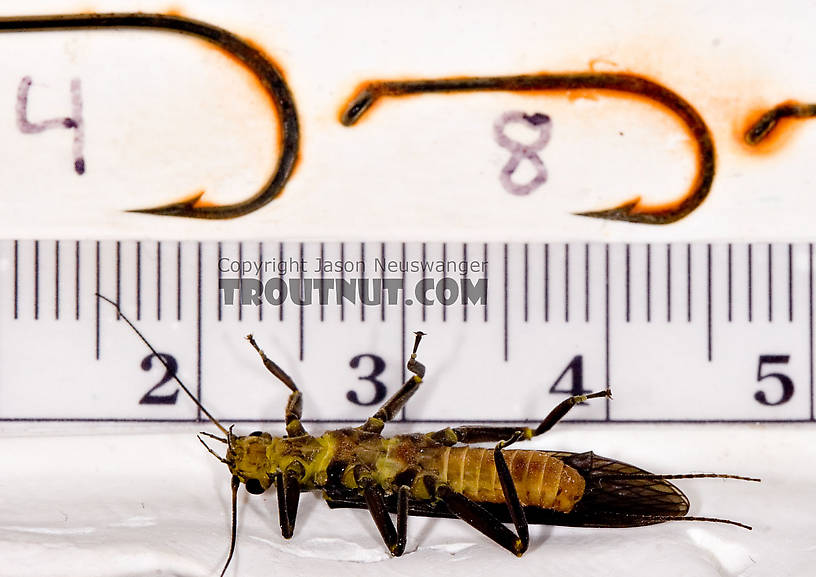 Paragnetina immarginata (Beautiful Stonefly) Stonefly Adult from Brodhead Creek in Pennsylvania