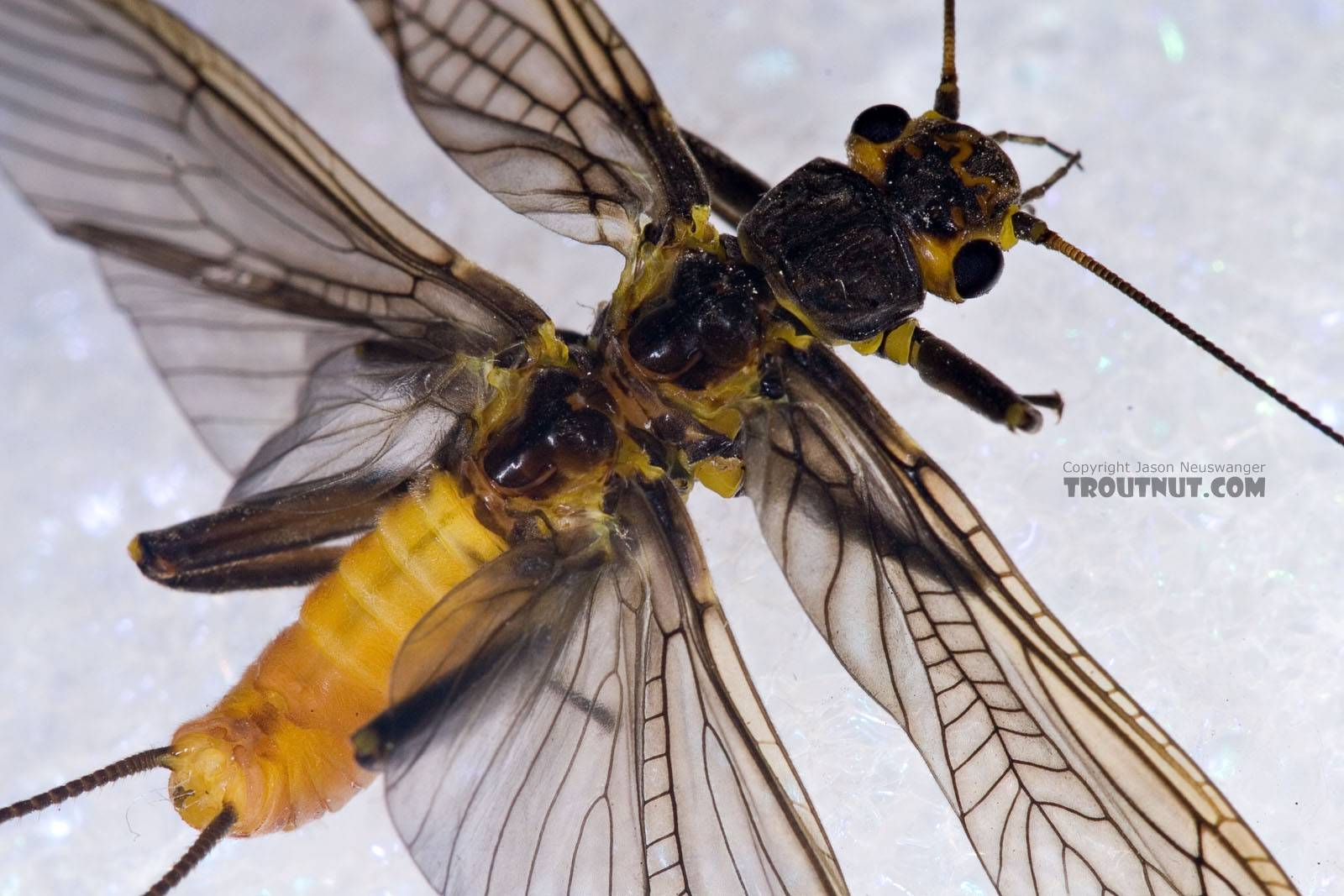 Paragnetina immarginata (Beautiful Stonefly) Stonefly Adult from Brodhead Creek in Pennsylvania