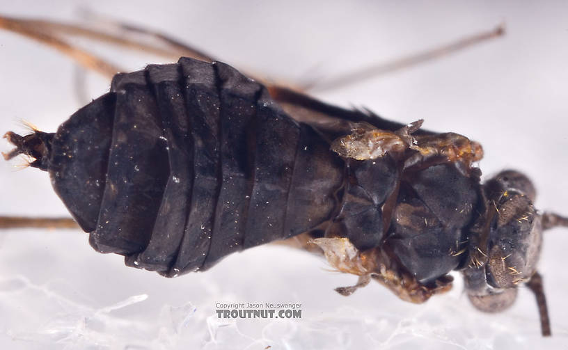 Female Dolophilodes distinctus (Tiny Black Gold Speckled-Winged Caddis) Caddisfly Adult from Brodhead Creek in Pennsylvania