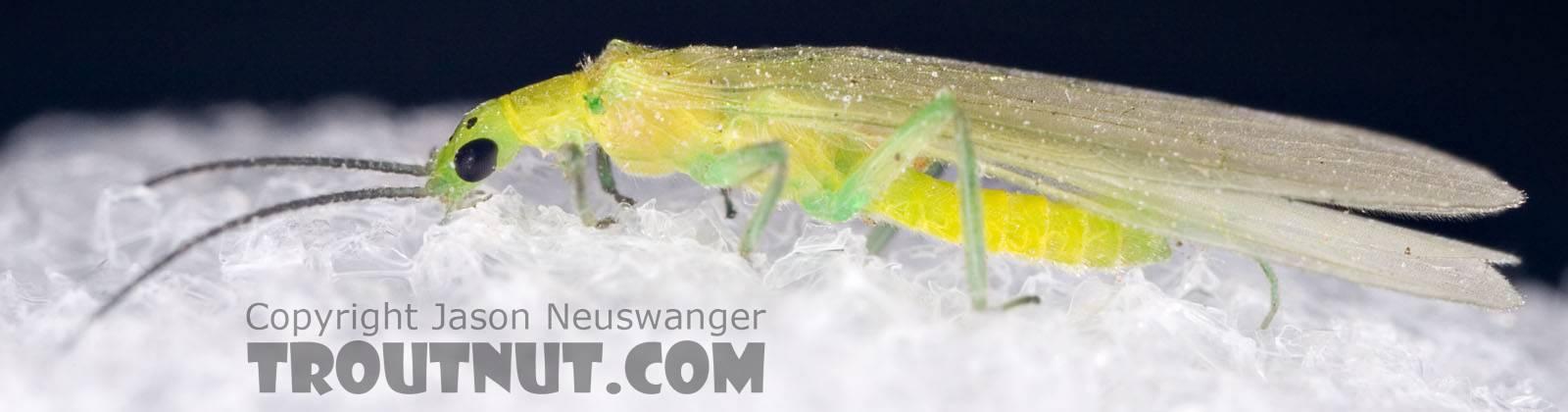 Alloperla (Sallflies) Stonefly Adult from Brodhead Creek in Pennsylvania