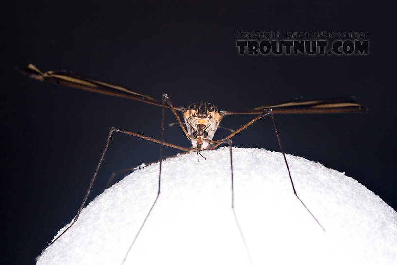Tipulidae (Crane Flies) Crane Fly Adult from Brodhead Creek in Pennsylvania