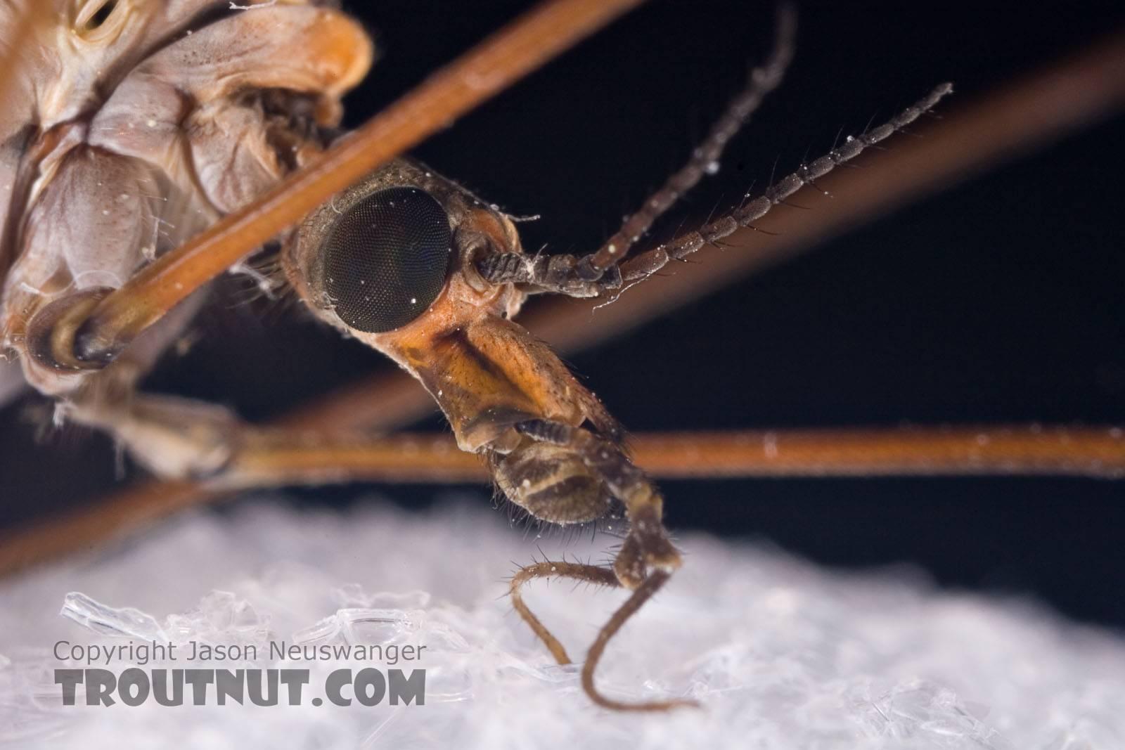 Tipulidae (Crane Flies) Crane Fly Adult from Brodhead Creek in Pennsylvania