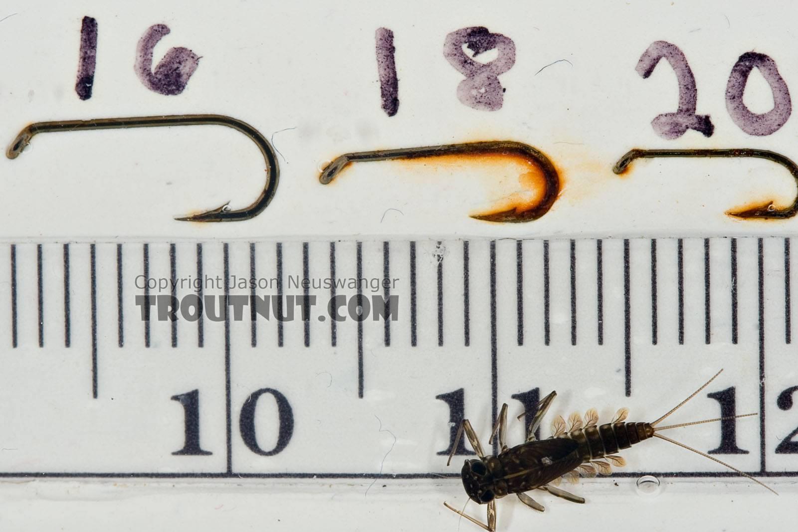 Cinygmula subaequalis (Small Gordon Quill) Mayfly Nymph from Paradise Creek in Pennsylvania