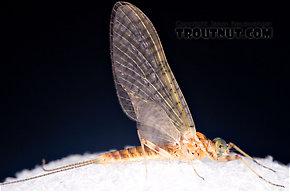 Maccaffertium ithaca (Light Cahill) Mayfly Dun