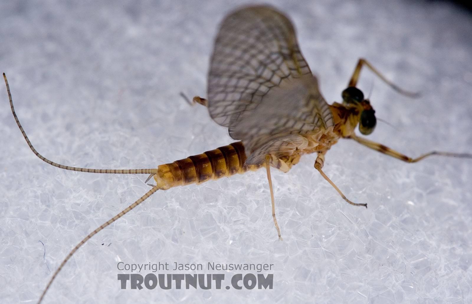 Maccaffertium ithaca (Light Cahill) Mayfly Dun from Paradise Creek in Pennsylvania