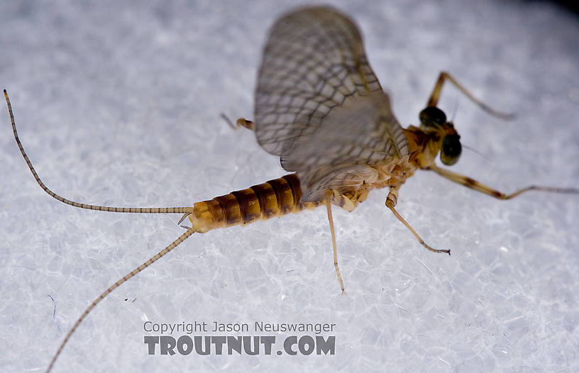 Maccaffertium ithaca (Light Cahill) Mayfly Dun from Paradise Creek in Pennsylvania