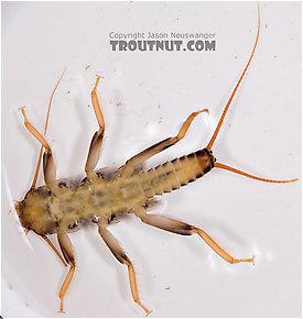 Acroneuria abnormis (Golden Stone) Stonefly Nymph