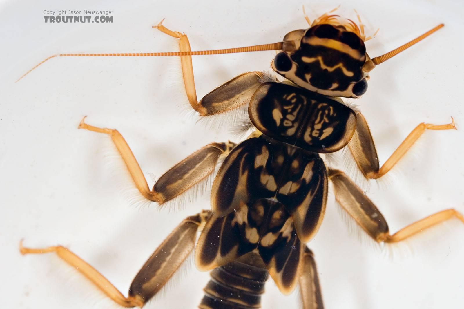 Acroneuria abnormis (Golden Stone) Stonefly Nymph from Paradise Creek in Pennsylvania