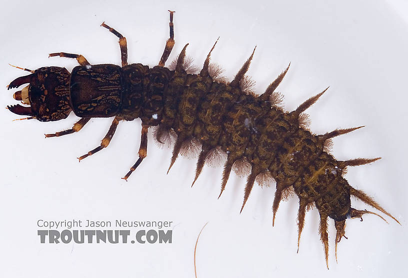 Corydalus (Dobsonflies) Hellgrammite Larva from Paradise Creek in Pennsylvania