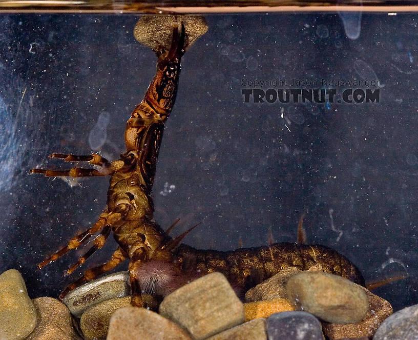 Corydalus (Dobsonflies) Hellgrammite Larva from Paradise Creek in Pennsylvania