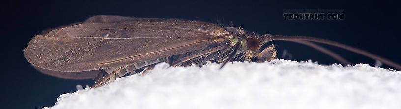 Male Psilotreta labida (Dark Blue Sedge) Caddisfly Adult from the West Branch of the Delaware River in New York