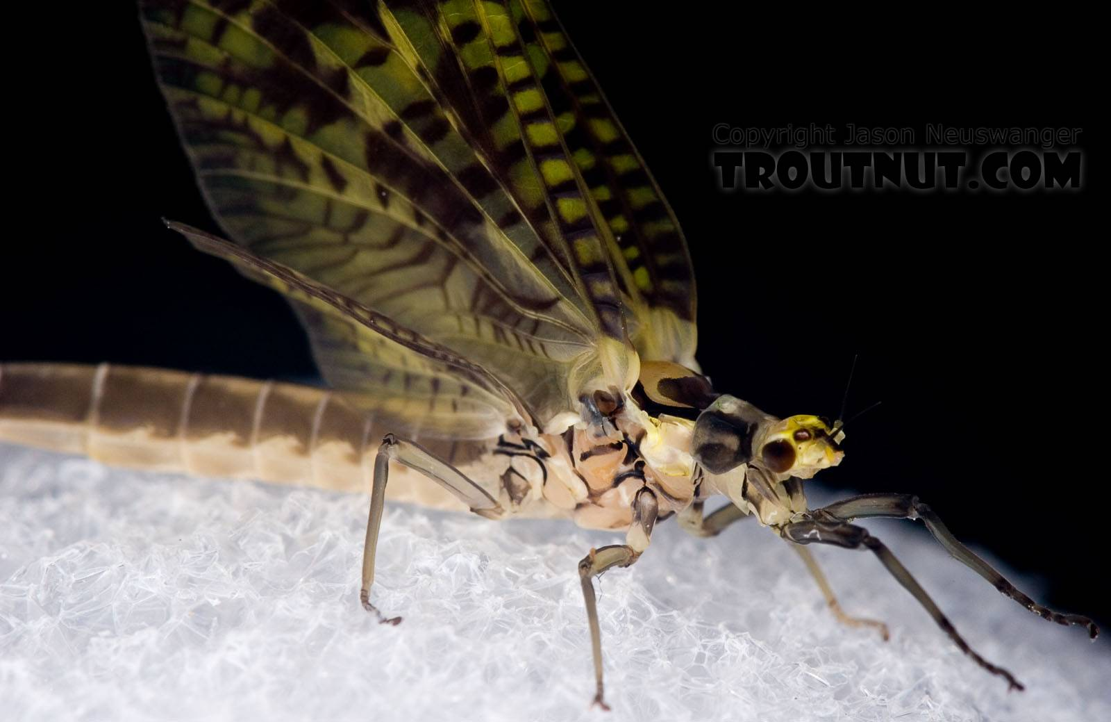Female Ephemera guttulata (Green Drake) Mayfly Dun from the West Branch of the Delaware River in New York
