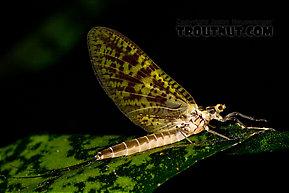 Female Ephemera guttulata (Green Drake) Mayfly Dun