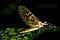 Female Ephemera guttulata (Green Drake) Mayfly Dun