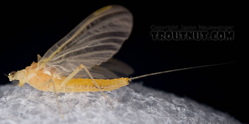 Female Penelomax septentrionalis Mayfly Dun from the West Branch of the Delaware River in New York