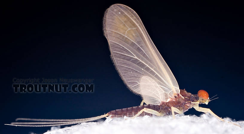 Ephemerella needhami (Little Dark Hendrickson) Mayfly Dun from the West Branch of the Delaware River in New York