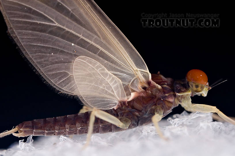 Ephemerella needhami (Little Dark Hendrickson) Mayfly Dun from the West Branch of the Delaware River in New York