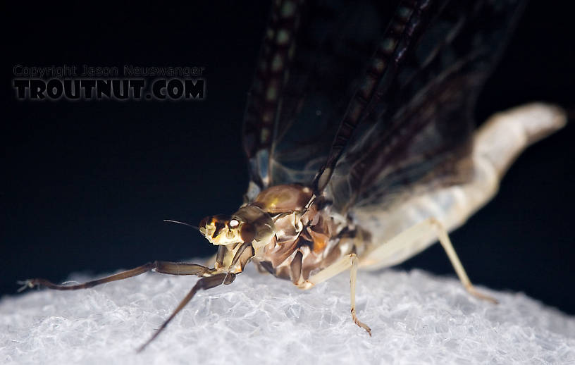 Female Ephemera guttulata (Green Drake) Mayfly Spinner from the West Branch of the Delaware River in New York