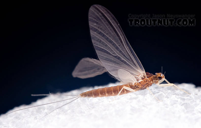 Female Paraleptophlebia (Blue Quills and Mahogany Duns) Mayfly Dun from the West Branch of the Delaware River in New York