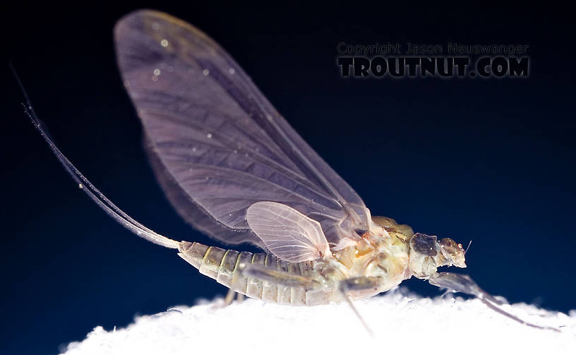 Female Drunella tuberculata Mayfly Dun from the West Branch of the Delaware River in New York