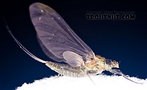 Female Drunella tuberculata  Mayfly Dun