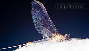 Male Maccaffertium terminatum  Mayfly Spinner