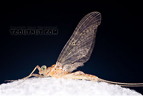 Male Maccaffertium ithaca (Light Cahill) Mayfly Dun
