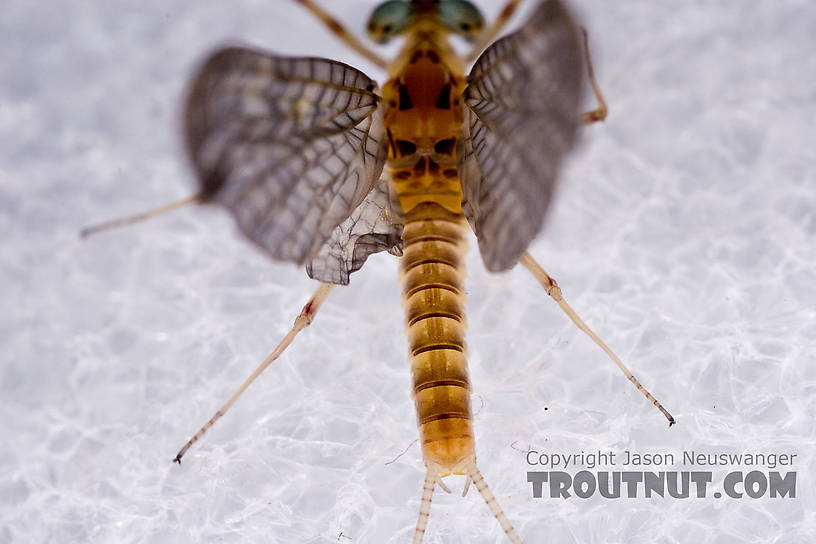 Male Maccaffertium ithaca (Light Cahill) Mayfly Dun from the West Branch of the Delaware River in New York